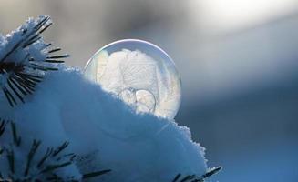 Frozen soap bubble on a pine branch