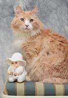 Norwegian forest cat male sitting on a chair with a white doll photo