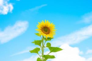 Sunflower on blue sky background with clouds photo