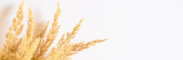 Pampas grass isolated on white background photo