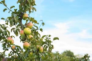 Apples on a branch of an apple tree in the garden on sky background photo