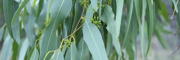 Eucalyptus tree on nature outdoor background photo
