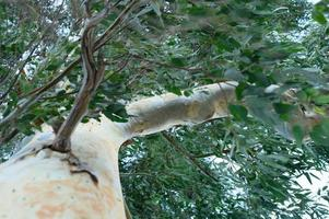 Eucalyptus tree and branches photo