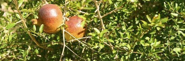Granadas rojas maduras que crecen en la rama de un árbol en el jardín foto