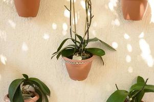 Green plants haemanthus in flower pots attached to a beige concrete wall photo