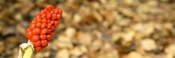 Planta de arum con frutos rojos maduros en el bosque foto