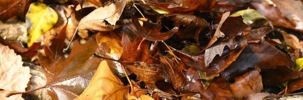 hojas de arce otoñales caídas, rojas y húmedas foto