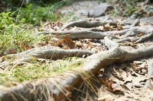 Raíces desnudas de árboles que sobresalen del suelo en acantilados rocosos en otoño foto