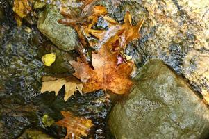 Hojas de arce de otoño caídas húmedas en el agua y rocas foto