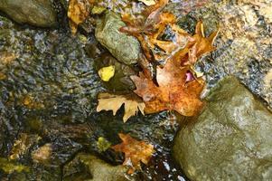 Montón de hojas de arce otoñales caídas húmedas en el agua y las rocas foto
