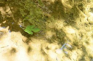 una hoja verde caída de una higuera silvestre flota en el agua foto