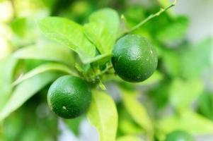 Unripe green lemons on a tree in the garden photo