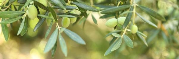 Green olives growing on a olive tree branch in the garden photo