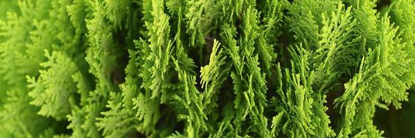 Background of close-up beautiful green Christmas leaves of Thuja trees photo