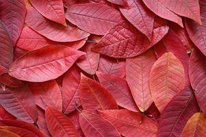 fondo de hojas rojas de otoño caídas foto