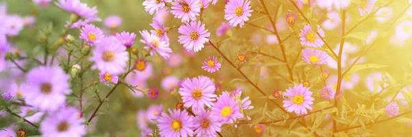 Autumn flowers Aster novi-belgii in vibrant light purple color in full bloom in the garden photo