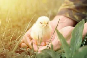 Cute little tiny newborn yellow baby chick in male hands of farmer on green grass background