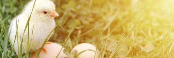 Cute little tiny newborn yellow baby chick and three chicken farmer eggs in the green grass