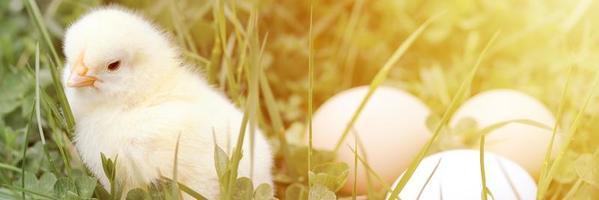 Lindo pollito amarillo recién nacido y tres huevos de granjero de pollo en la hierba verde foto
