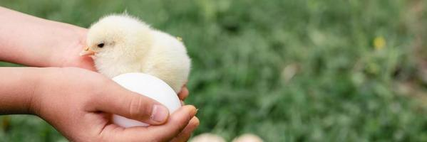 Cute little tiny newborn yellow baby chick in kid's hands on green grass