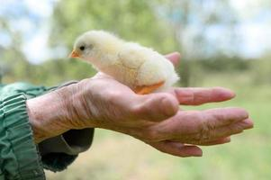 Cute little tiny newborn yellow baby chick in hands of elderly senior woman farmer on nature background photo
