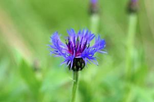 Wild cornflower field with herbs and blue purple flowers photo