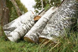 A few birch logs on the grass