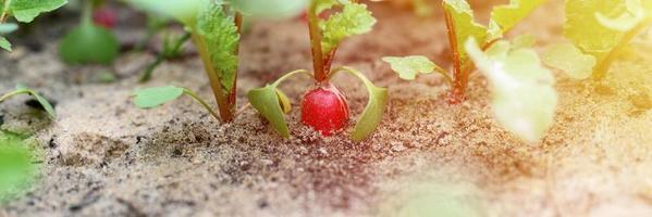 Young radishes growing in a bed in the garden photo