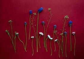 Floral flatlay arrangement of small daisies and muscari on deep red background