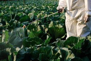 Jardinero en un traje de protección insecticida en aerosol y química en la planta vegetal de repollo foto