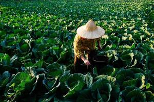 Female gardener hand giving chemical fertilizer to cabbage vegetable photo