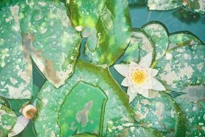 Water lily among the green foliage photo