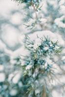 ramas de pino y bayas en la nieve foto
