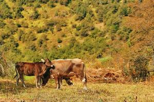 Summer mountain landscape with cow and calf photo