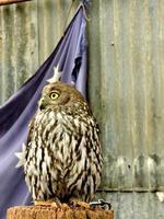 Australian native bird barking owl photo