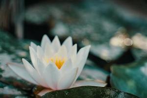 White water lily among green foliage close-up photo