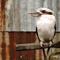 Australian native bird kookaburra photo