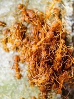 Red ants in nature