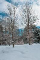 Two bare trees in winter photo