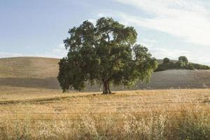 Lone green tree in a dry grassy field in the California hills photo