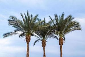 Three green palm trees against a blue sky photo