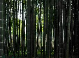bosque de bambú denso foto