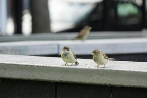 Sparrows on a sill photo