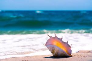 Conch shell on a beach photo