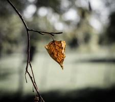 Single dry leaf on a tree branch photo