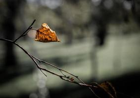 Dry leaf on a tree branch photo