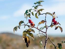bayas de rosa mosqueta roja en una rama con hojas verdes foto