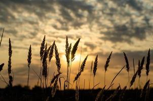 silueta de espiguillas contra el sol poniente y el cielo con nubes foto