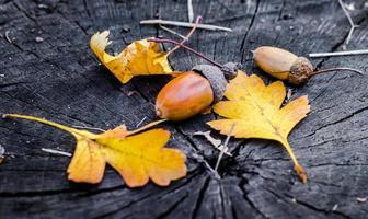 Bellotas y hojas de roble amarillo sobre un tocón de madera foto