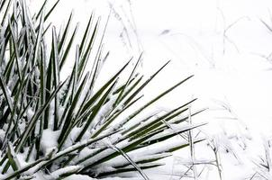 Green plant in snow and ice photo